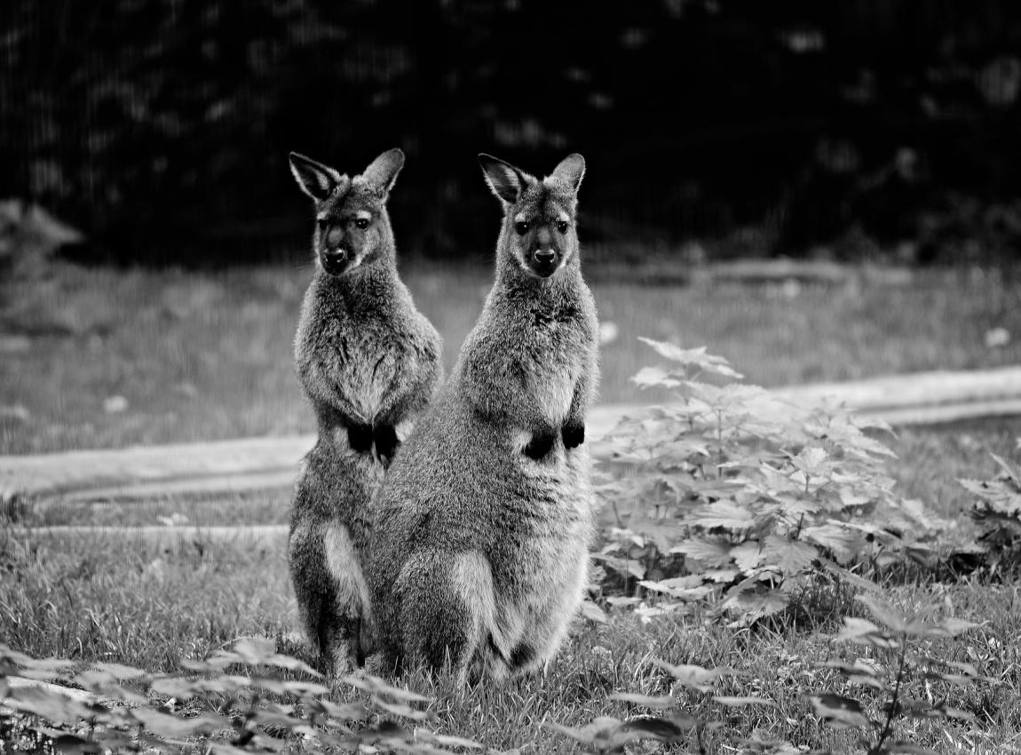 STOP SUPPORTING KANGAROO SLAUGHTER