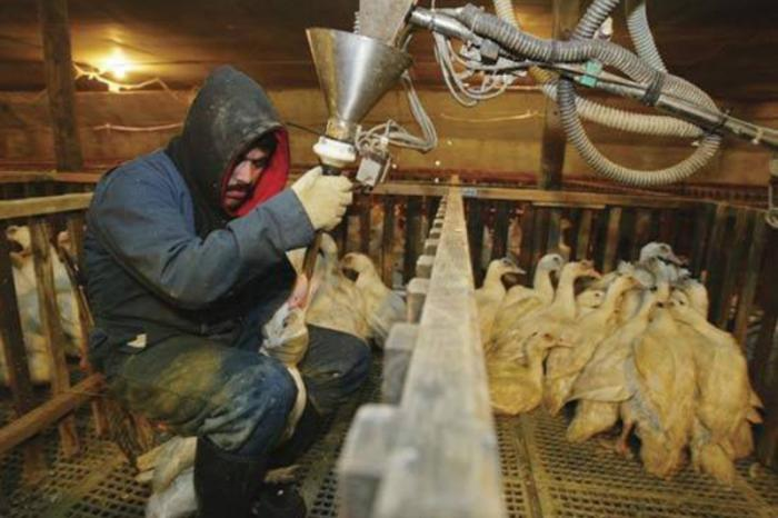 GAIA à propos du rejet de la proposition de décret flamand sur l'interdiction du gavage pour la production de foie gras