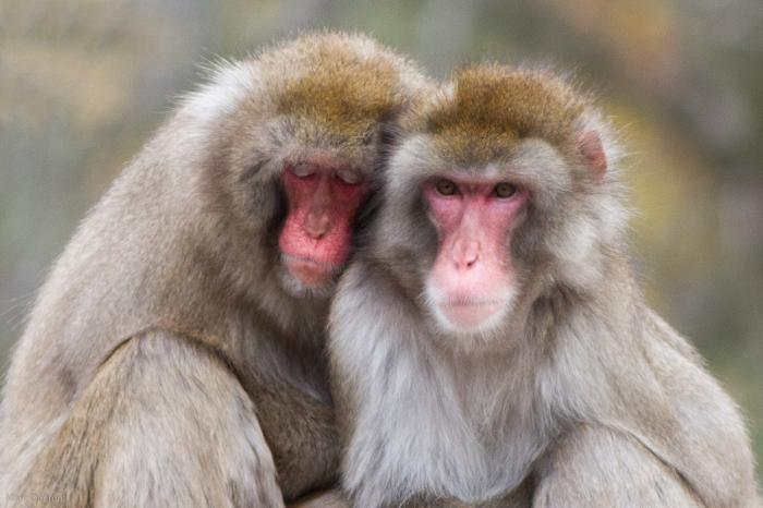 L'Institut Max Planck met fin aux tests sur singes
