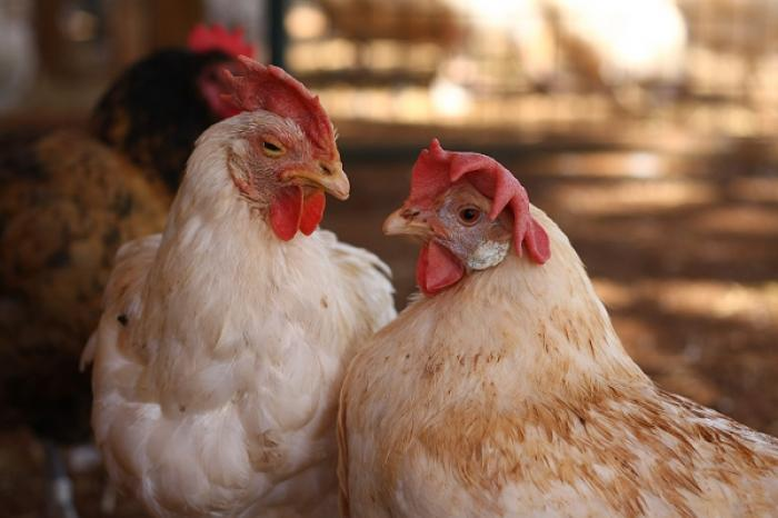 Good news for laying hens