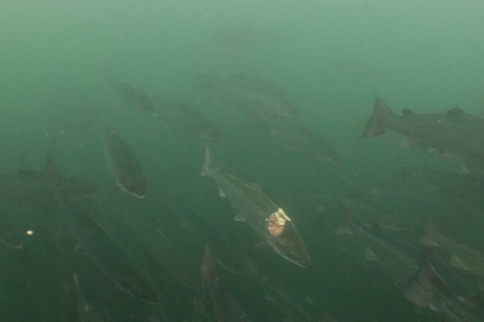 NEW CAMPAIGN // Deformities, parasites, and high mortality rates: the murky depths of the Scottish salmon industry revealed in new undercover investigation
