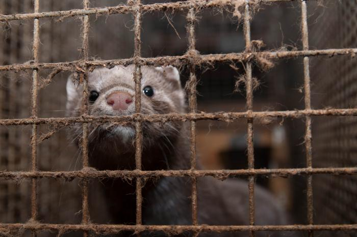 Constitutional court upholds legal ban on fur farming in Wallonia
