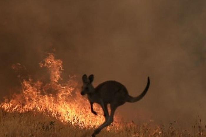 Forest fires in Australia: several supermarkets stop the sale of kangaroo meat
