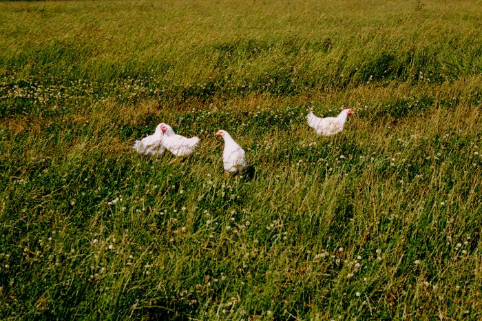 Aoste opts for improved chicken welfare in close cooperation with GAIA
