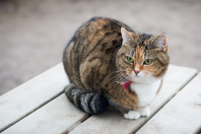 Flemish Government mandates the sterilization of cats