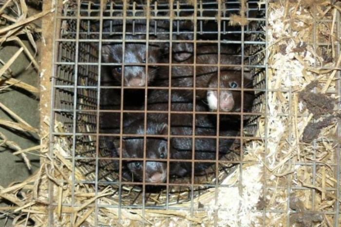 Flemish mink farm denied expansion permit