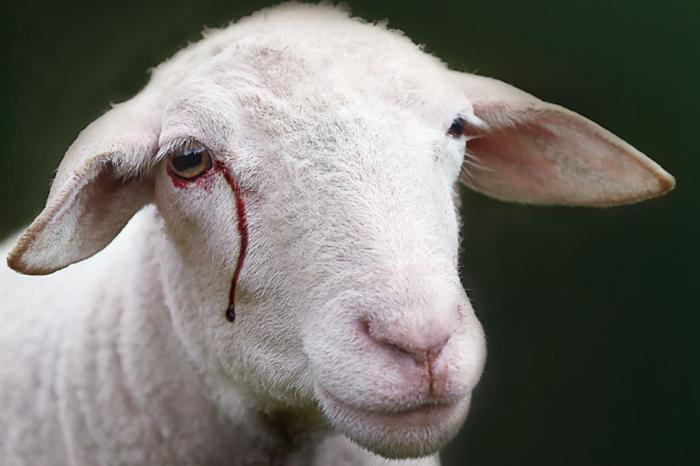 Slaughtering without stunning: 17 associations demand a ban in Brussels