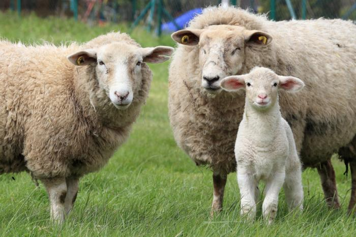 Historic Agreement in Flanders to ban slaughter without stunning
